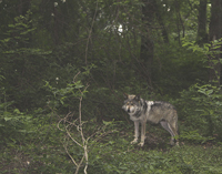 Wolf at the Wolf Conservation Center
